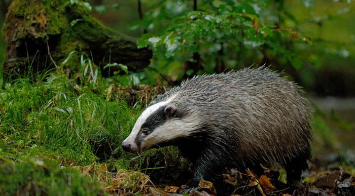 Badger-in-uk-Forest
