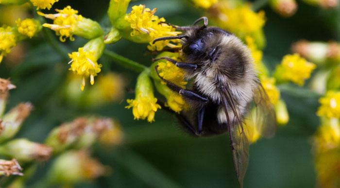 Bumble Bee (Shutterstock, Elliotte Rusty Harold)