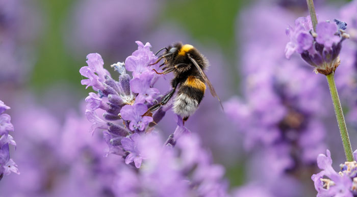 Bumble-Bee-on-Lavender (Shutterstock, Menno Schaefer)