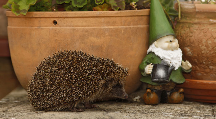 Caring-for-a-Hedgehog-in-your-garden
