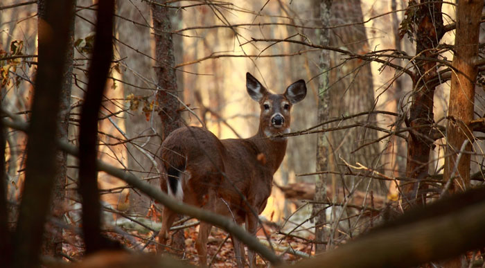 Deer (Shutterstock, Gary Gello)