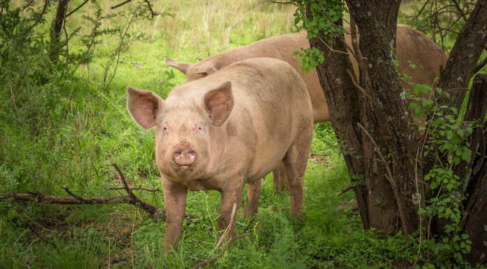 New-Forest-Pigs (Shutterstock, Toscanini)