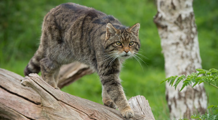 Scottish-Wildcat (Shutterstock, davemhuntphotography)