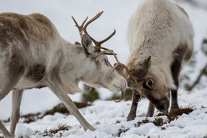 reindeer foraging in cairngorms national park (shutterstock, Paul A Carpenter)