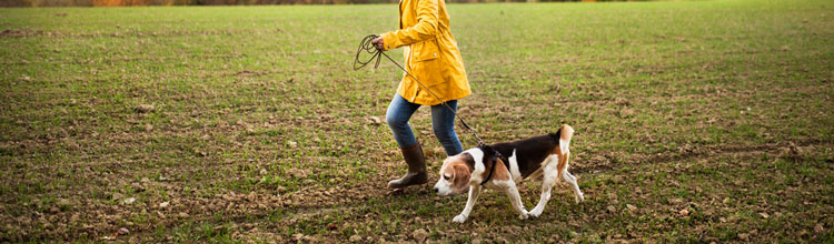 woman-walking-beagle-dog-through-field (Shutterstock, Halfpoint)